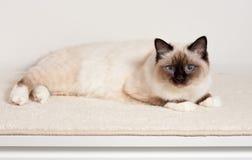 Foka punktu Birman kot, samiec z niebieskimi oczami kłama na dywanie Zdjęcia Stock