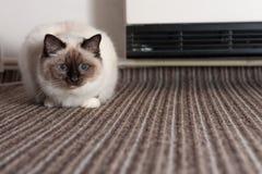 Foka punktu Birman kot, samiec z niebieskimi oczami kłama na dywanie Fotografia Stock
