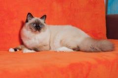 Foka punktu Birman kot, samiec z niebieskimi oczami kłama na kanapie Obraz Stock