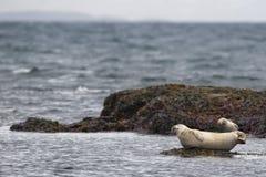Foka relaksuje na skale w Iceland Zdjęcia Royalty Free