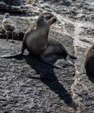 Foka w Hout zatoce Kapsztad Fotografia Royalty Free