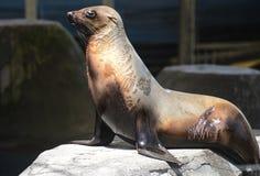 Foka w Melbourne zoo Zdjęcia Royalty Free