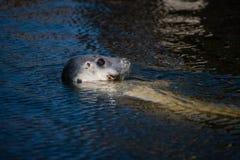 Foka w morzu bałtyckim Zdjęcia Royalty Free