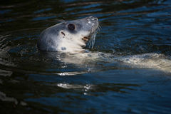 Foka w morzu bałtyckim Obrazy Royalty Free