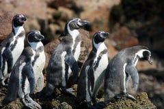 Foka w Paracus Peru Obrazy Stock
