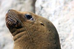 Foka w Paracus Peru Zdjęcie Stock