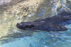 Foka w wodzie fotografia stock