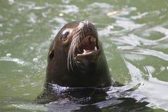 Foka w wodzie Obrazy Stock