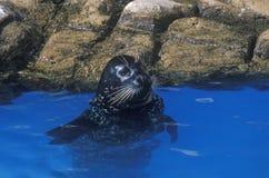 Foka w wodzie, Denny świat, San Diego, CA zdjęcie royalty free
