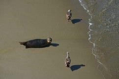 Foka z ptakami na plaży Zdjęcia Royalty Free