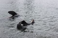 Foki bawić się w wodzie Obrazy Stock