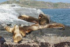 Foki, Beagle kanał, Argentyna Fotografia Royalty Free