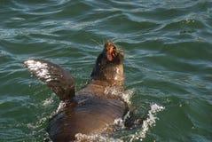 Foki dopłynięcie w morzu Fotografia Royalty Free
