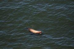 Foki dopłynięcie wzdłuż Oregon wybrzeża fotografia stock