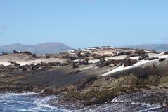Foki kolonia przy foki wyspą, przylądka miasteczko, Południowy Affica Obrazy Royalty Free