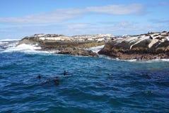 Foki kolonia przy foki wyspą, przylądka miasteczko, Południowy Affica Obraz Stock