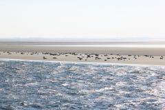 Foki na ławicę między Terschelling i Ameland Zdjęcie Royalty Free
