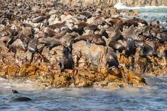 Foki na foki wyspie Obraz Royalty Free