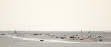 Foki na piasku, Pointe Du Hourdel, Picardy, Francja zdjęcie royalty free