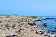 Foki na Plaży Obraz Stock