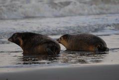 Foki na plaży Fotografia Stock