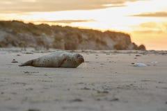 Foki na plaży w wydmowej wyspie blisko helgoland Zdjęcia Royalty Free