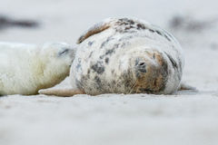 Foki na plaży w wydmowej wyspie blisko helgoland Zdjęcie Stock