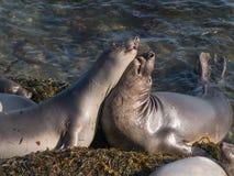 Słoń foki na plaży Obraz Stock