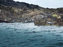 Foki na skałach Zdjęcie Stock