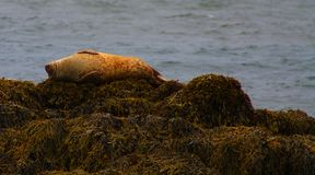 Foki na skalistej plaży, Iceland obrazy royalty free