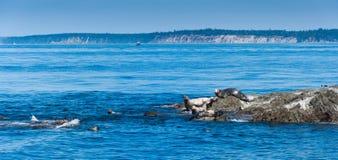 Foki na w Vancouver wyspie Fotografia Royalty Free