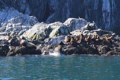Foki na wodzie Zdjęcie Stock