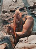 Foki Odpoczywa na plaży Fotografia Royalty Free