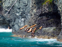 Foki pływa i wygrzewa się w Alaska Obraz Royalty Free