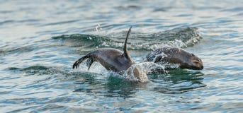 Foki pływanie i doskakiwanie z wody Obrazy Stock