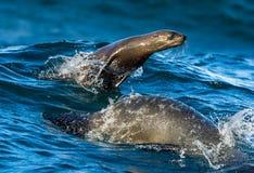 Foki pływanie i doskakiwanie z wody Obraz Stock