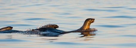 Foki pływanie na zmierzchu. Zdjęcie Stock