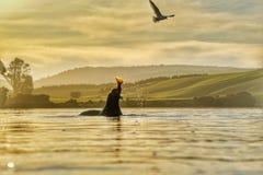 Foki polowanie Zdjęcie Royalty Free