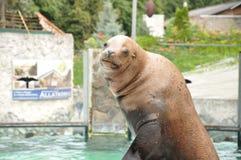 Foki przedstawienie w zoo Obrazy Stock