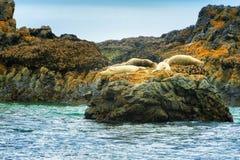 Foki przy foki skały plażą Obraz Stock