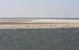 Foki siedzą między Ameland i Terschelling wyspami Fotografia Stock