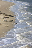 Foki siedzą między Terschelling i Ameland wyspą Zdjęcie Royalty Free