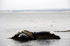 Foki w Monterey zatoce Zdjęcia Royalty Free
