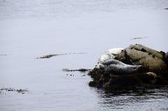 Foki w Monterey zatoce Zdjęcia Stock