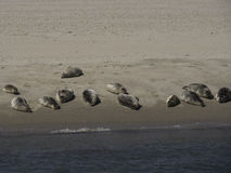Foki w piasku fotografia royalty free
