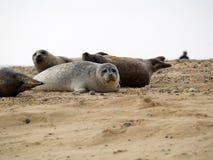 Foki w plaży Zdjęcia Royalty Free