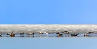 Foki w zatoce Somme Obraz Stock