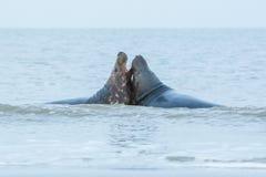 Foki walczą w wodzie w wydmowej wyspie blisko helgoland Zdjęcia Royalty Free