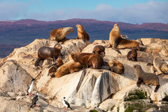 Foki wyspa blisko Ushuaia fotografia royalty free