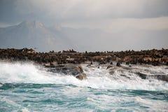 Foki wyspa w Fałszywej zatoce, Południowa Afryka Zdjęcia Royalty Free